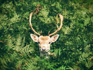 deer_in_fern